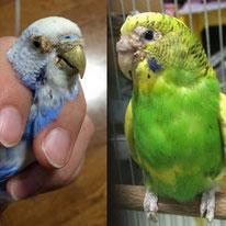 セキセイインコ2羽のレスキュー