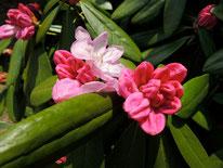 咲き始めのシャクナゲ