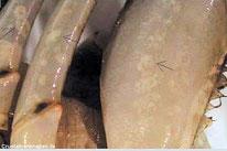 Foto 3: ...die sich dann über die Anhänge, an den Schreitbeinen, ausbreiten...