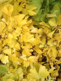 Fächerblattbaum, Ginkgo biloba, Freilandbonsai