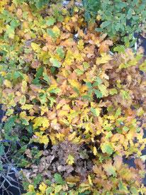 Stieleiche, Quercus robur, Freilandbonsai