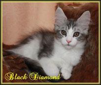 black silver classic tabby white Maine Coon Kitten - Katzenbaby