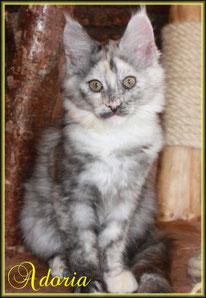 Rassekatze Maine Coon Kitten