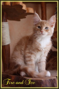 Maine Coon KIiten in red silver classic tabby
