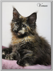 Maine Coon black tortie