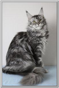 Mainecoon in blue silver torbie aus der Katzen Zucht La spina