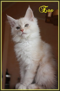 Maine Coon Kitten in red smoke