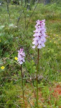 Orchidee mit zartlila Blüten