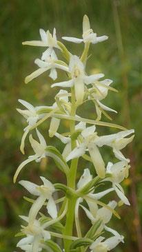 Zartgelbe Orchideenblüte, Schweden