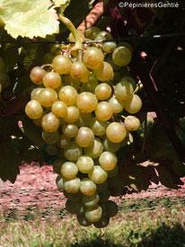 Javoy-Plantes_vignes-anciennes_Madeleine-Royale_©PépinièresGentié