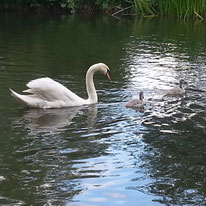 Swan with babies by susannemtaylor