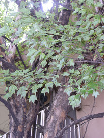 Acer burgerianum (トウカエデ)