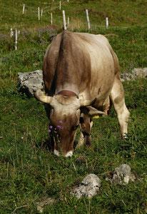 Sommerfrische der Kühe am Grünten