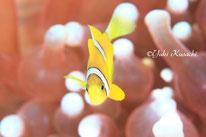 伊豆大島でのスキューバダイビングで見たクマノミ幼魚