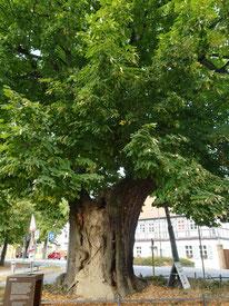 Lutherlinde an der Marienkirche in Treuenbrietzen, sehr großer sehr alter Baum mit Zement gefüllt da innen hohl