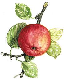 """Bild: Apfel Aquarell für """"Mein wunderbarer Küchengarten""""  © Caroline Ronnefeldt"""