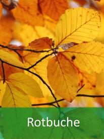 Baumarten - Rotbuche