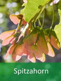 Forstpflanze Spitzahorn
