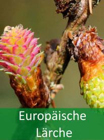 Forstpflanze-Europäische-Lärche