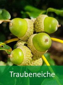 Forstpflanze Traubeneiche