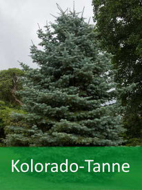 Forstpflanzen - Kolorado-Tanne