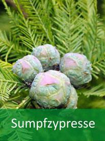 Forstpflanze-Sumpfzypresse