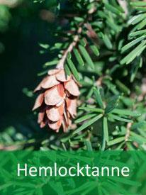 Baumart - Hemlocktanne
