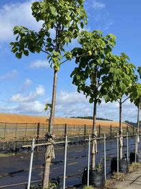 Kaiserbaum im Pflancontainer