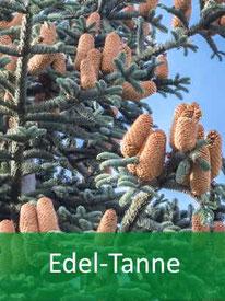 Forstpflanze-Edel-Tanne