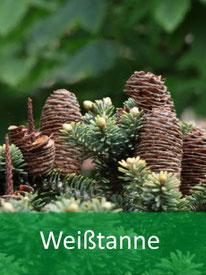 Forstpflanze-Weißtanne