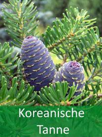 Forstpflanzen - Koreanische-Tanne