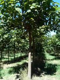 Blauglockenbaum-Hochstamm