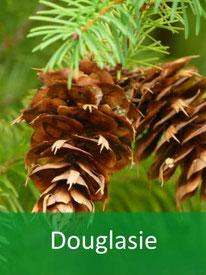 Forstpflanze-Douglasie