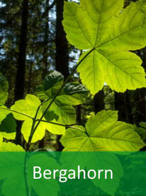 Forstpflanze Bergahorn