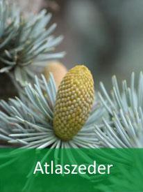 Forstpflanze-Atlaszeder