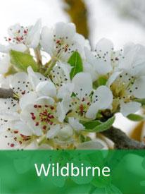 Baumart -  Wildbirne