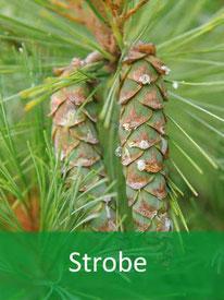 Forstpflanze-Strobe