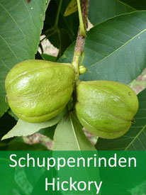 Baumarten - Schuppenrinden Hickory
