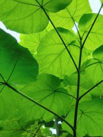 Blauglockenbaum P. Artemis