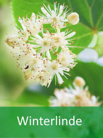 Baumarten  Winterlinde
