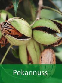 Forstpflanzen Pekannuss