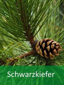 Baumarten - Schwarzkiefer