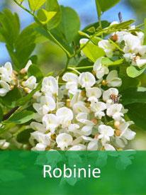 Forstpflanzen Robinie