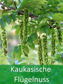 Forstpflanzen Kaukasische Flügelnuss