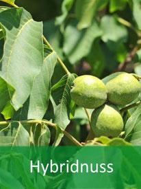 Forstpflanzen Hybridnuss