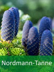Forstpflanzen - Nordmann-Tanne