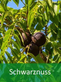 Baumarten - Schwarznuss