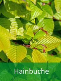 Baumart - Hainbuche