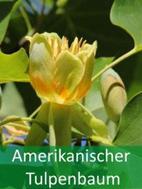 Forstpflanze - Amerikanischer-Tulpenbaum