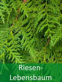 Baumarten - Riesen-Lebensbaum